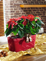 Poinsettias in LECHUZA table planters