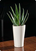 Aloe en LECHUZA