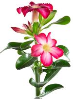 Rose du désert en LECHUZA MAXI-CUBI